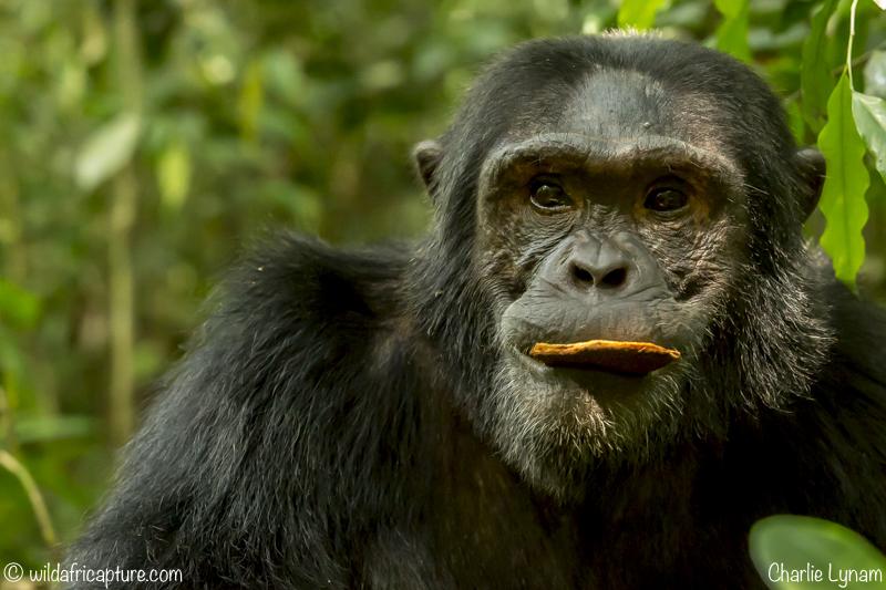 Wachizungu Wanderings 2016 – A Day With Uganda's Chimpanzees and on toRwanda.