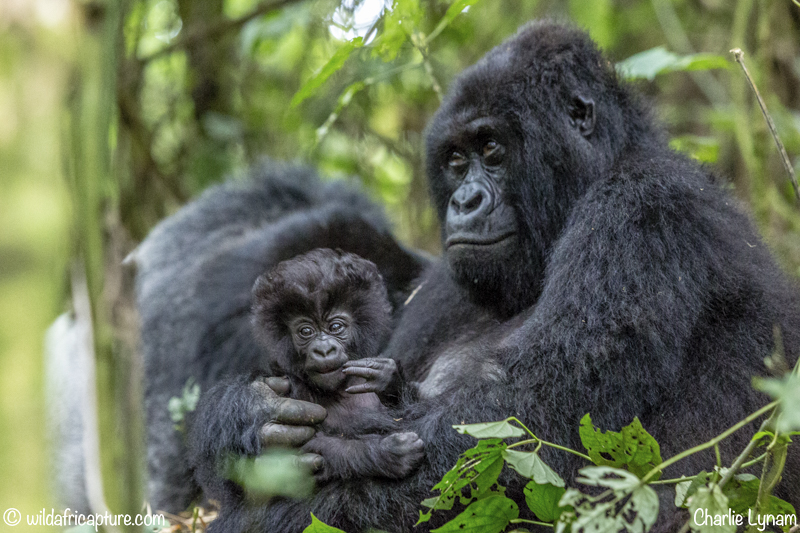 Wachizungu Wanderings 2016 -The Gorillas Of The Congo.