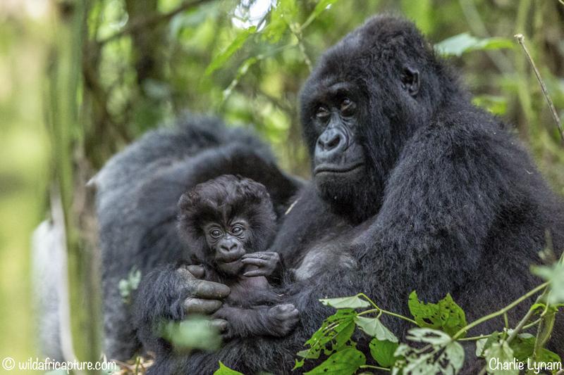 Wachizungu Wanderings 2016 -The Gorillas Of TheCongo.