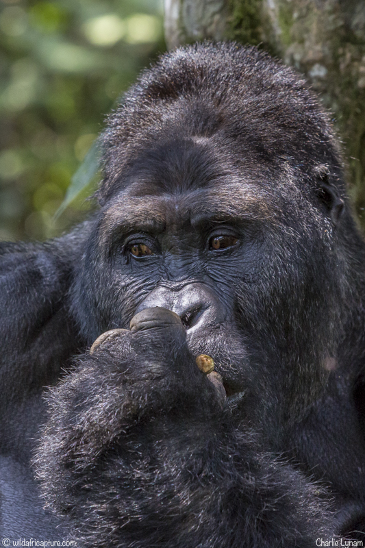 Wachizungu Wanderings 2016 – The Grauer's (Lowland) Gorillas of Kahuzi-Beiga,Congo
